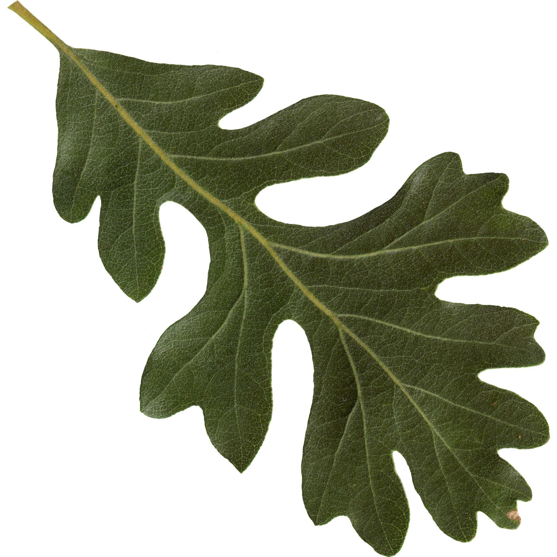 Valley Oak Leaf Nature In Novato